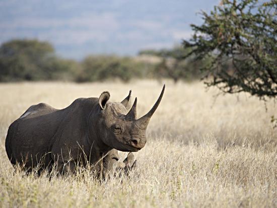 Endangered Species Black Rhino and Calf in Kenya-Mark C. Ross-Photographic Print