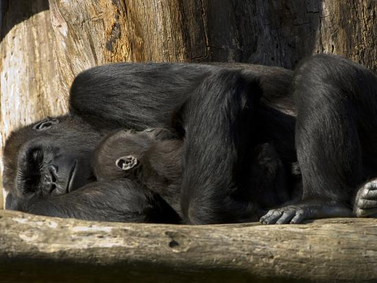 Endangered Western Lowland Gorilla Family, Gorilla Gorilla Gorilla-Paul Sutherland-Photographic Print