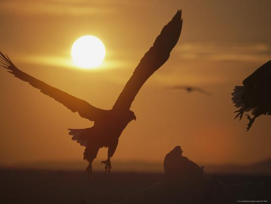 Endangered White-Tailed Sea Eagle Taking a Twilight Flight-Tim Laman-Photographic Print