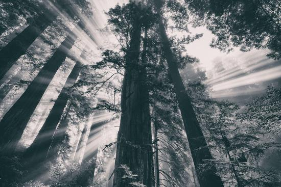 Energy, Redwoods and Morning Light, California Coast-Vincent James-Photographic Print