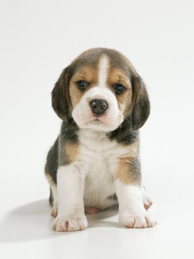 English Beagle Puppy Sitting--Photographic Print