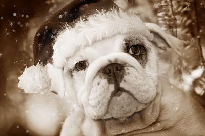 English Bulldog Close-Up of Face--Photographic Print
