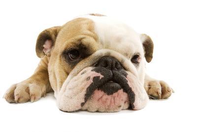 English Bulldog Lying in Studio--Photographic Print