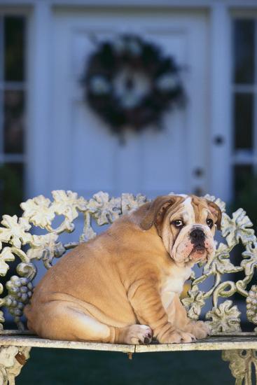 English Bulldog on a Garden Bench-DLILLC-Photographic Print