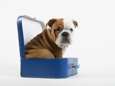 English Bulldog Puppy Sitting in a Lunch Box-Peter M^ Fisher-Photographic Print