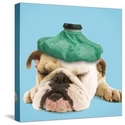 English Bulldog with Ice Pack