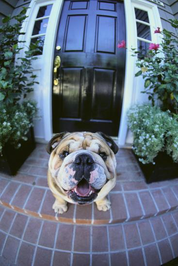 English Bulldog-DLILLC-Photographic Print
