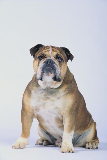 English Bulldog-DLILLC-Photographic Print