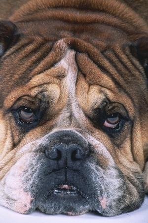 https://imgc.artprintimages.com/img/print/english-bulldog_u-l-pzrimv0.jpg?p=0