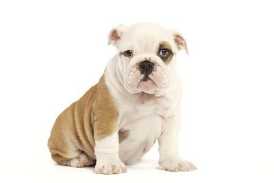 English Bulldog--Photographic Print