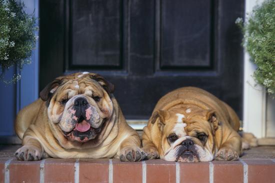 English Bulldogs-DLILLC-Photographic Print