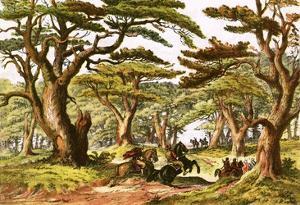 Cedars of Lebanon by English