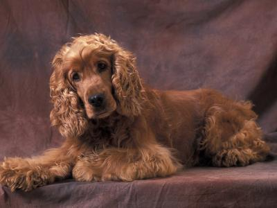 English Cocker Spaniel Lying Down with Head Tilted to One Side-Adriano Bacchella-Photographic Print
