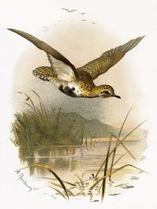 Golden Plover by English