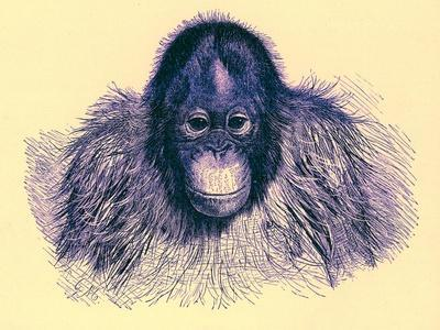 Head of Orang, Illustration from 'The Royal Natural History', Published 1896