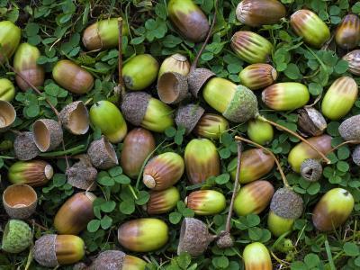 English Oak Tree Acorns on Forest Floor, Belgium-Philippe Clement-Photographic Print