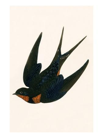 Oriental Chimney Swallow