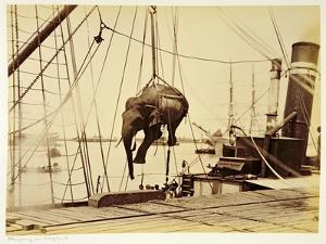 Shipping a Burmese Elephant by English Photographer