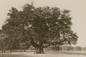 The Major Oak, Sherwood Forest by English Photographer
