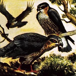 A Cast of Hawks by English School