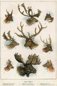 Deer Family by English School