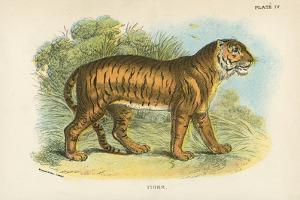Tiger by English School