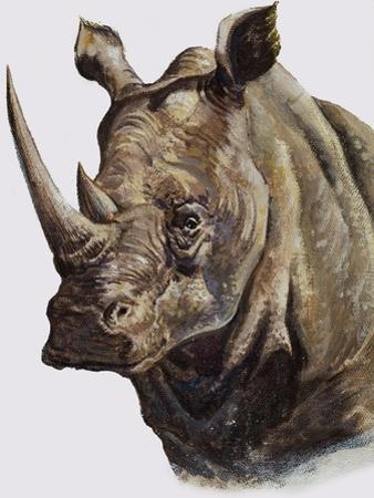 White Rhinoceros, 1980 by English School