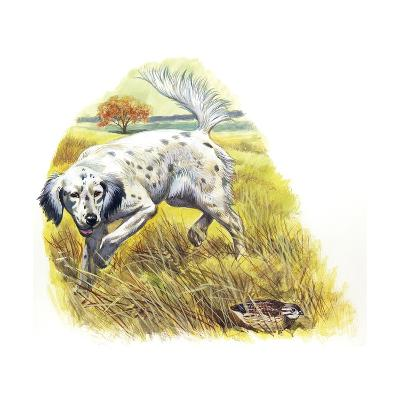 English Setter (Canis Lupus Familiaris) Pointing to Quail--Giclee Print