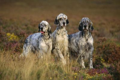 English Setter Dogs Three in Row--Photographic Print