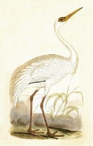 Siberian Crane,  from 'A History of the Birds of Europe Not Observed in the British Isles' by English