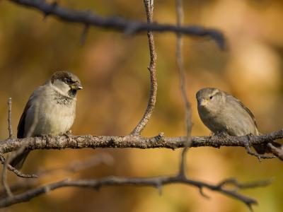 English Sparrows (House Sparrows) in Lincoln, Ne-Joel Sartore-Photographic Print
