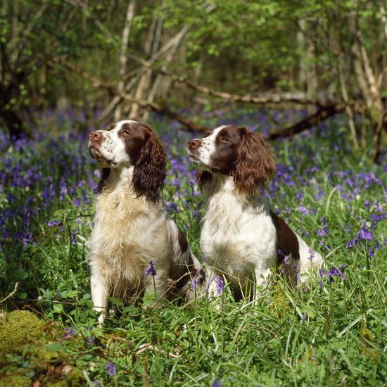 English Springer Spaniel Dogs in Bluebell Woodland--Photographic Print