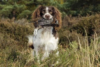 English Springer Spaniel Holding Grouse in Mouth--Photographic Print