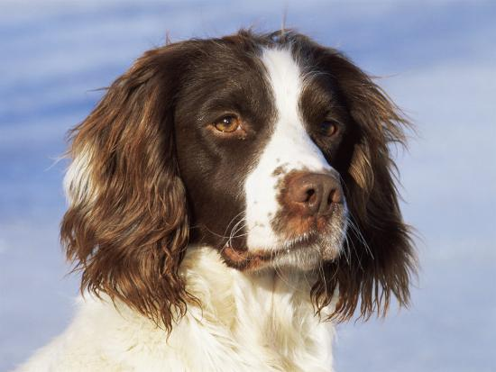 English Springer Spaniel Portrait, Wisconsin, USA Photographic Print by  Lynn M  Stone | Art com
