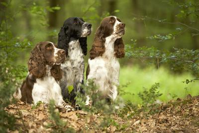 English Springer Spaniels in Woodland--Photographic Print