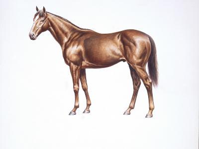English Thoroughbred (Equus Caballus), Illustration--Photographic Print