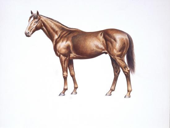 English Thoroughbred (Equus Caballus)--Giclee Print