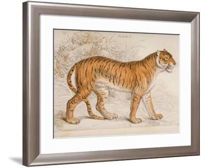 Engraving of a Tiger from The Naturalist's Library Mammalia--Framed Photographic Print