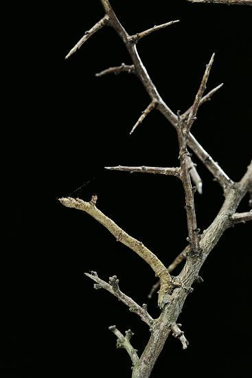 Ennomos Sp. (Thorn Moth) - Caterpillar or Inchworm Camouflaged on Twigs-Paul Starosta-Photographic Print