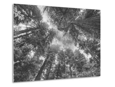 Enraptured by Trees, Redwood Coast California-Vincent James-Metal Print