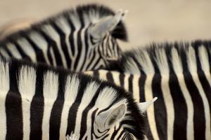 Burchell'S Zebras (Equus Quagga Burchellii) Close Ups Of The Manes, Etosha Np, Namibia by Enrique Lopez-Tapia