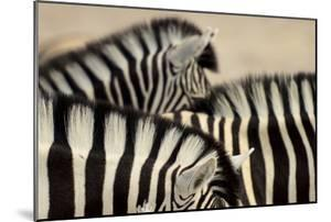 Burchell'S Zebras (Equus Quagga Burchellii) Close Ups Of The Manes, Etosha Np, Namibia by Enrique Lopez-Tapia