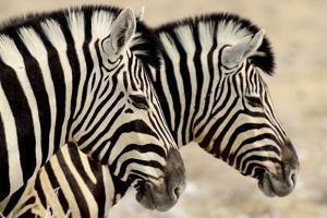 Burchell'S Zebras (Equus Quagga Burchellii) Standing Side By Side. Etosha Np, Namibia by Enrique Lopez-Tapia