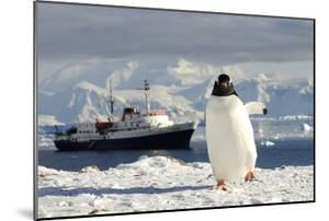 Gentoo Penguin (Pygoscelis Papua) And Antarctic Cruise Liner 'Mv Ushuaia' In Neko Harbour by Enrique Lopez-Tapia