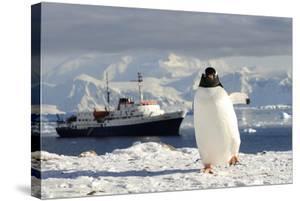 Gentoo Penguin (Pygoscelis Papua) And Antarctic Cruise Liner 'Mv Ushuaia' In Neko Harbour by Enrique Lopez-Tapia