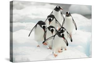 Gentoo Penguins (Pygoscelis Papua) Group Walking Along Snow, Cuverville Island by Enrique Lopez-Tapia