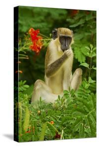 Green Monkey (Cercopithecus Aethiops Sabaeus) in Niokolo Koba National Park by Enrique Lopez-Tapia