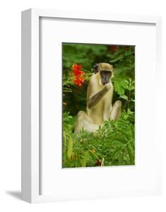 Green Monkey (Cercopithecus Aethiops Sabaeus) in Niokolo Koba National Park by Enrique Lopez-Tapia