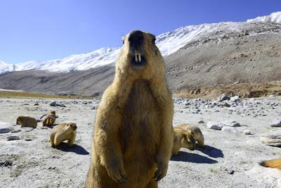 Himalayan marmot, Chantang Wildlife Sanctuary, India