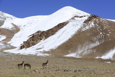 Kiangs, Chantang Wildlife Sanctuary, Ladakh, India